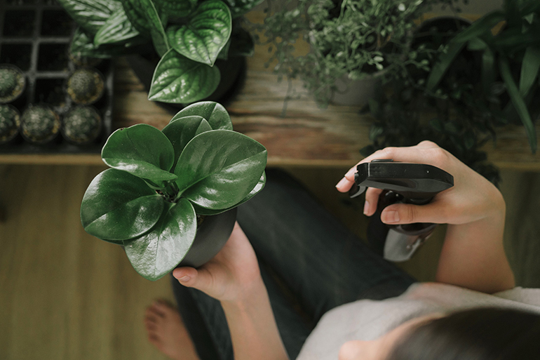A person watering an indoor plant with a spray bottle.