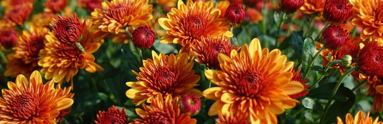 Orange and yellow mums (Chrysanthemums) in a field.