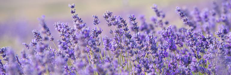 Lavender flowers sit in a lavender field, blowing in the wind.