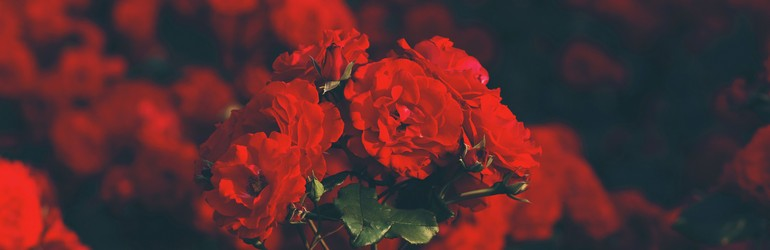 Red roses spread throughout the frame.
