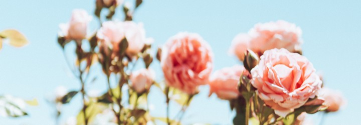 Beautiful pink roses against a blue sky representing the beauty in the world.