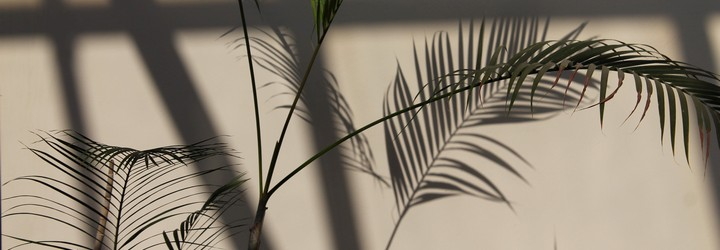 A plant casting shadows against a white wall.